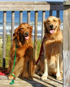 Bridget and Sam Gardosh show off their gorgeous Golden smiles on one of their many trips with mom Kathy. Both attend many dog events (as well as enjoy lots of vacation time like this beach location) so it's essential that they know how to potty on cue.