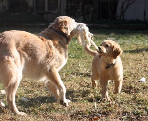 The opportunity for great socialization with other dogs is one way to stave off reactive issues later in life. Here's young Rudy learning play manners from his other Golden brother, sweet Gus.