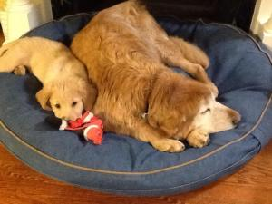 A few rounds of puppy push-ups and young Rudy is ready for a nap. He worshipped his big brother Ruddy, who sadly left for Rainbow Bridge not long after this picture was taken.