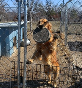 Our new Arkansas friends sent us this picture showing one of the Goldens at the abandoned home where all the animals were living.