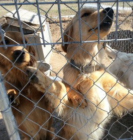 Another photo of the Goldens in Arkansas. These pictures broke our hearts and we were so anxious to help.