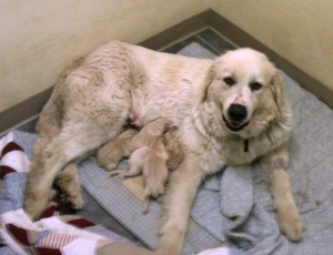 "New mama Madison with her five little ""surprises""!"