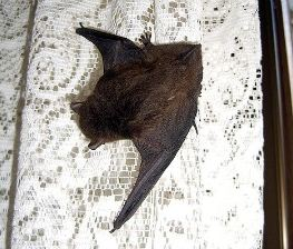 A bat resting on a curtain before his next flying sprint. Sometimes the wings are more folded, making it harder to spot them.