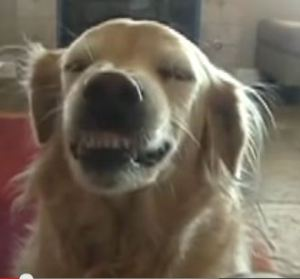 "Gracie, the ""smile-retriever"" was adopted from a Golden Retriever rescue in California."