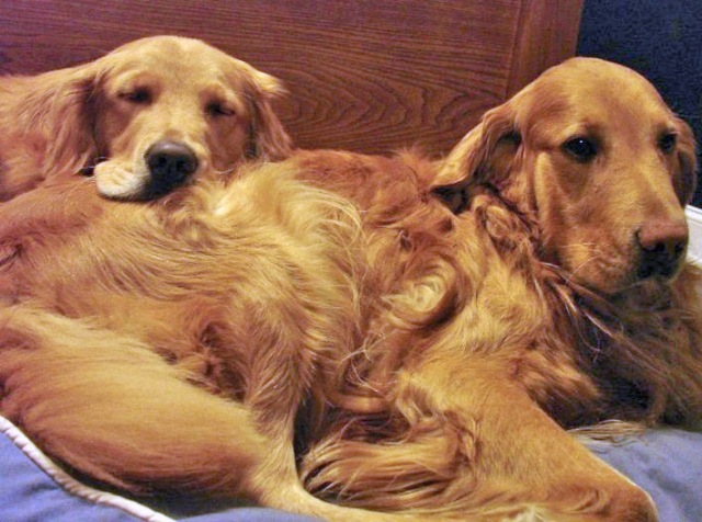 This photo really captures the deep bond between these two Goldens, both adopted from DVGRR.  On the right is Everett (09-214), a puppy mill survivor.  At the time of his adoption, there was a second dog in the home being fostered by the adopters for a friend. She served as Everett's original mentor, but when she went back to live with her original family he needed a new canine companion. Enter Luke #4 (10-156), a super outgoing youngster who has turned into a fabulous mentor dog. Luke and Everett are now inseparable, as you can see here!