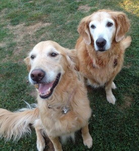 "Magellan (on right) has also served as a mentor for two puppy mill breeder dogs. She is shown here with her current ""student,"" Hope #4 (12-213)."